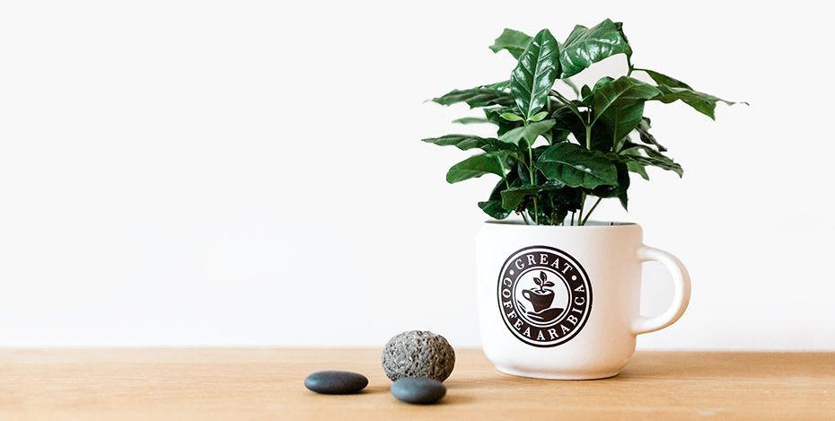 Alexa Kaffeepflanze
